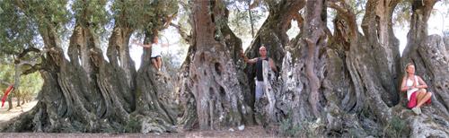 dendroterapia energetica - uno degli alberi più antichi della terra